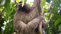Costa Rica The Thrifty Three-toed Sloth