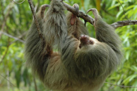 Costa Rica The Thrifty Three-toed Sloth Buy 2 Bring 3